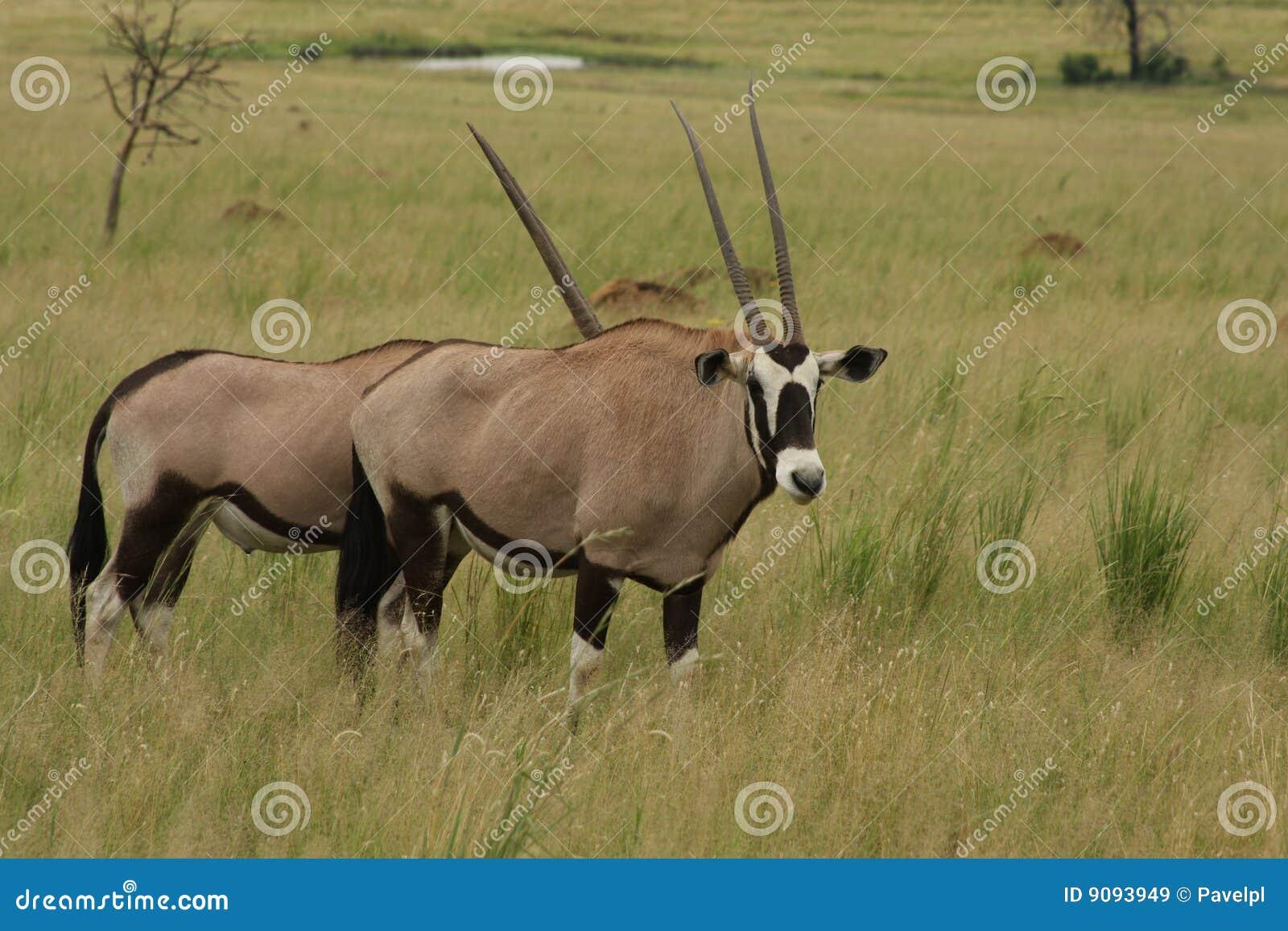 Gemsbokantilopen, Südafrika