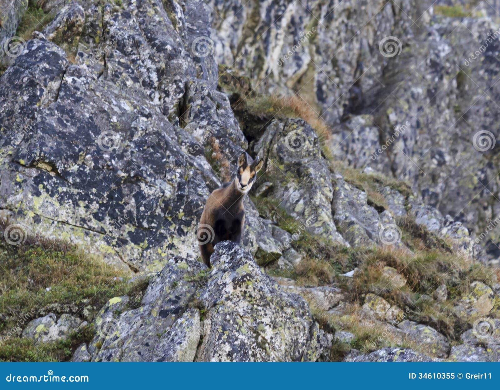 Gemzen - berggeit die - neer van een rots kijken.