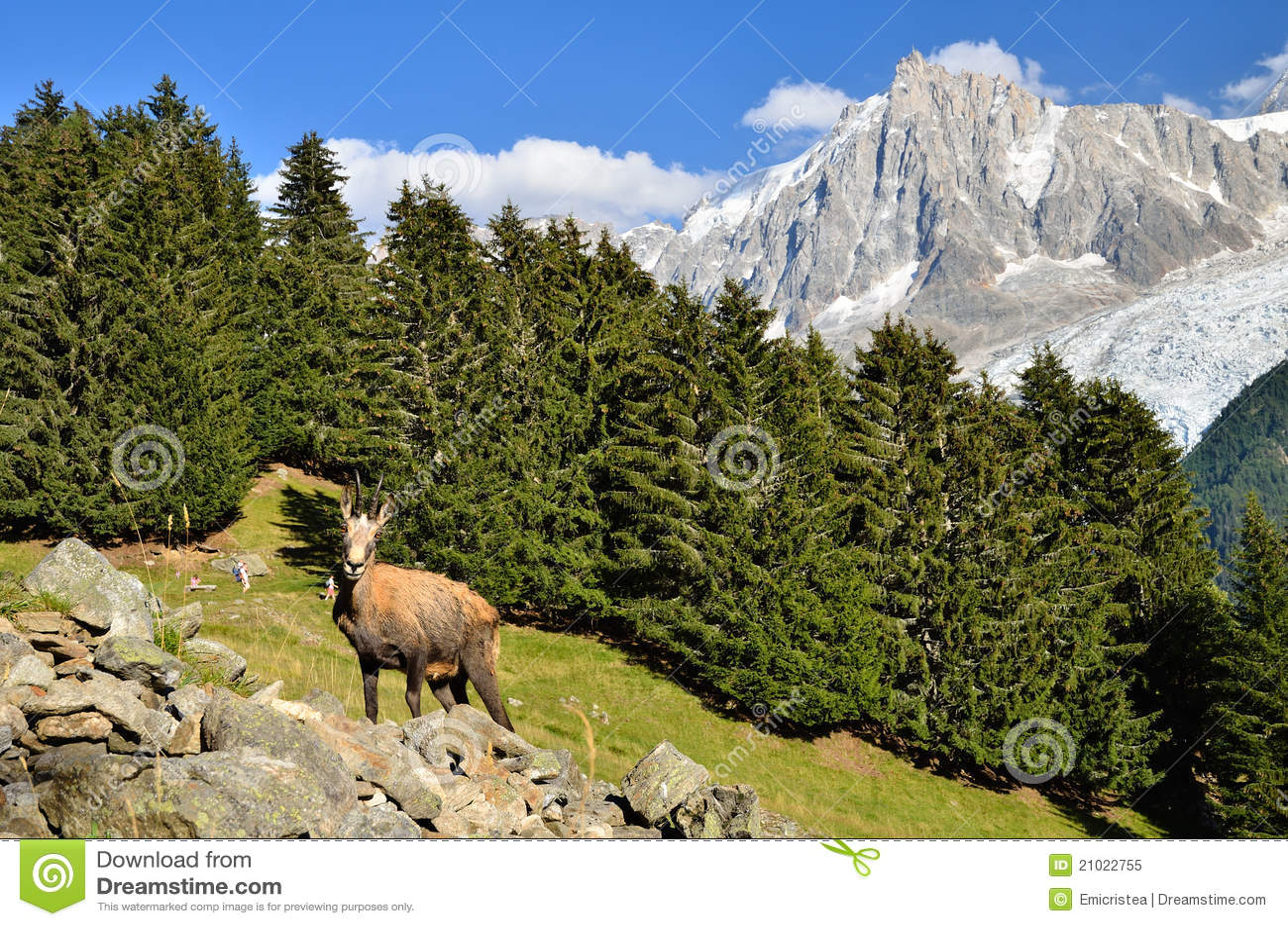 Gemzen in Chamonix, Frankrijk