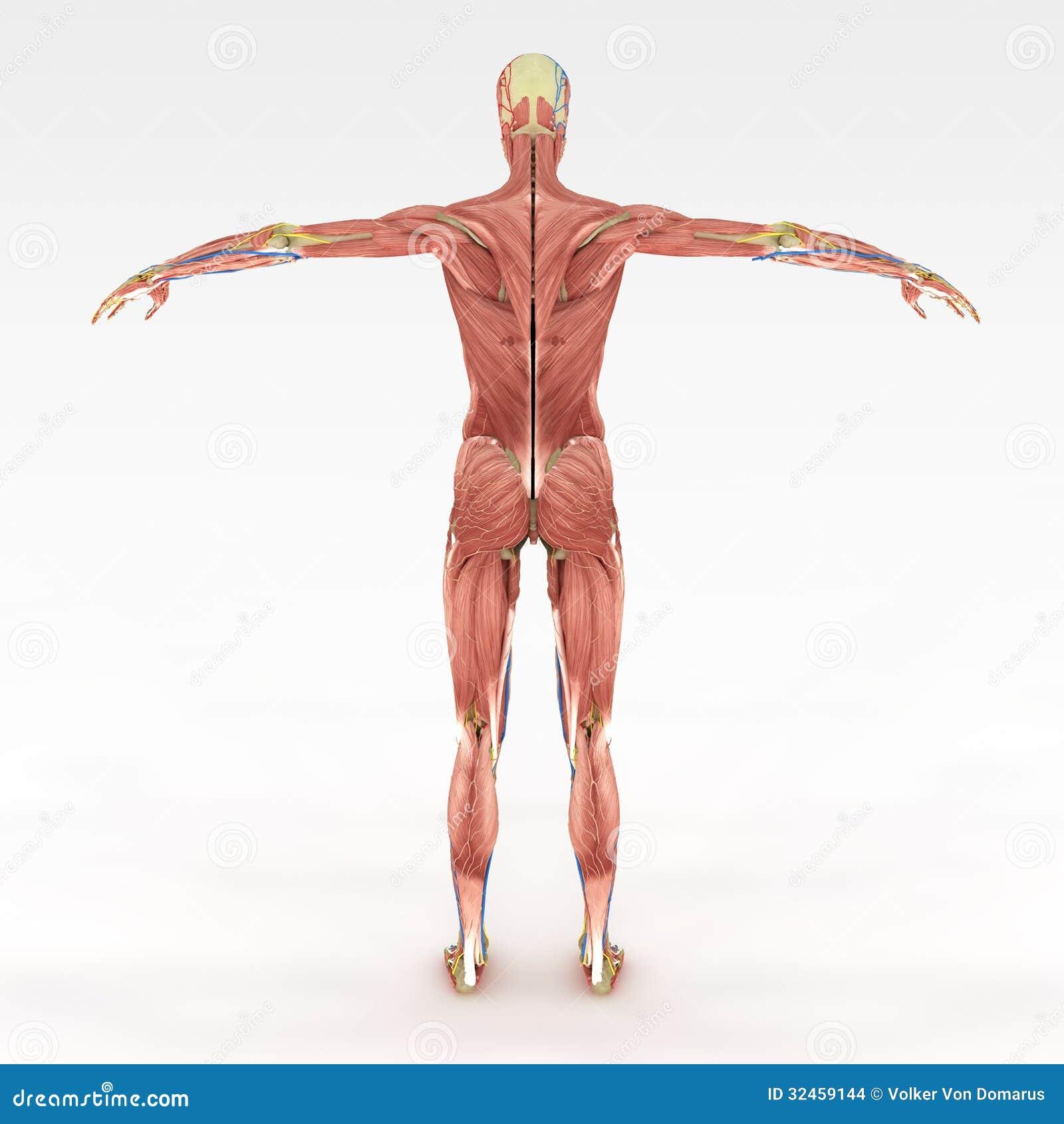 Genaue weibliche Anatomie stock abbildung. Illustration von ...
