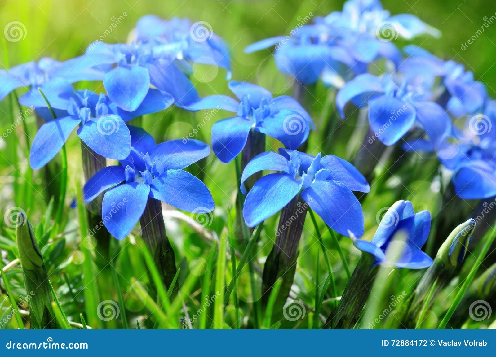 Genciana azuis da mola na grama verde