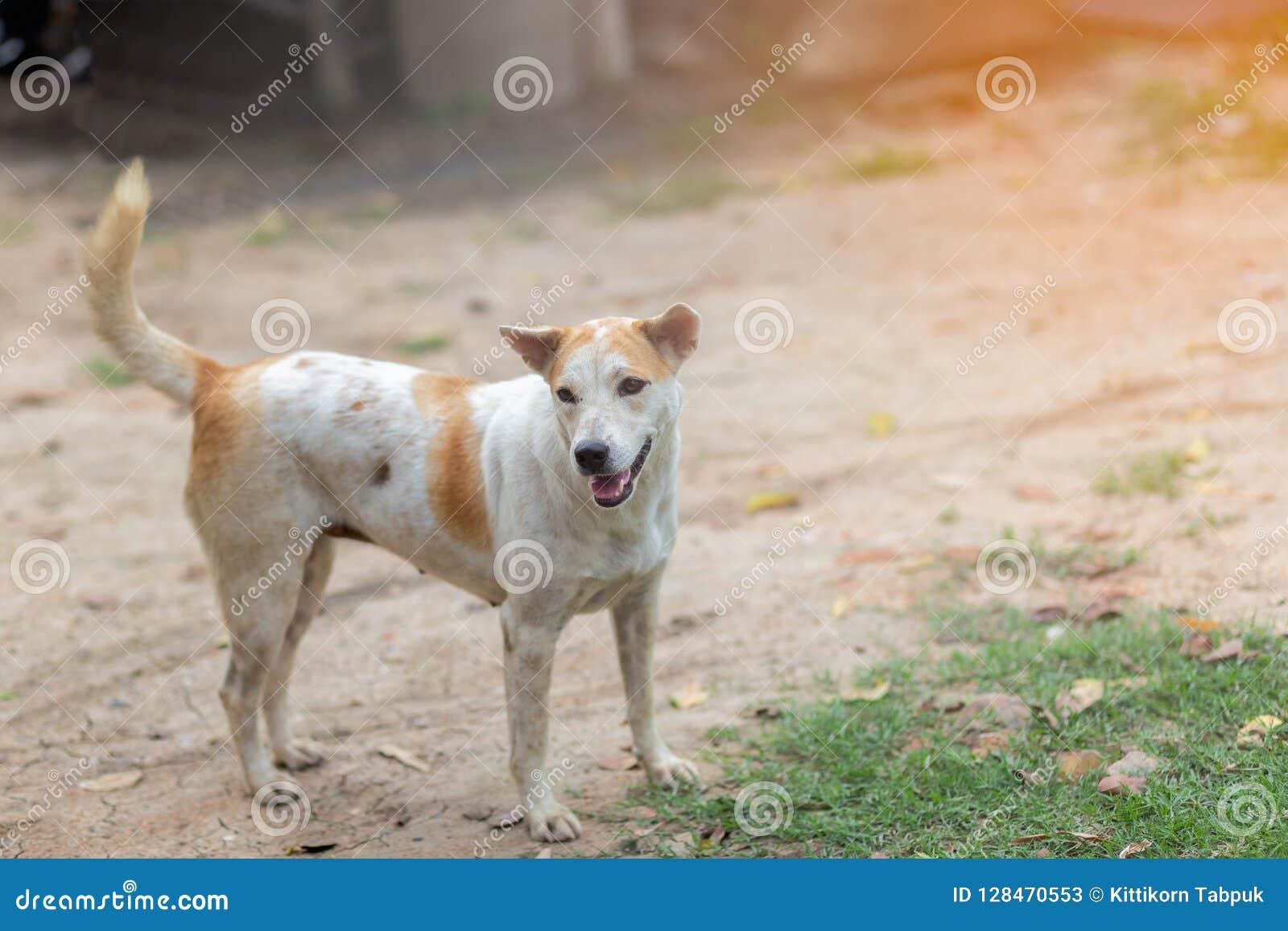 Gene Dog tailandés