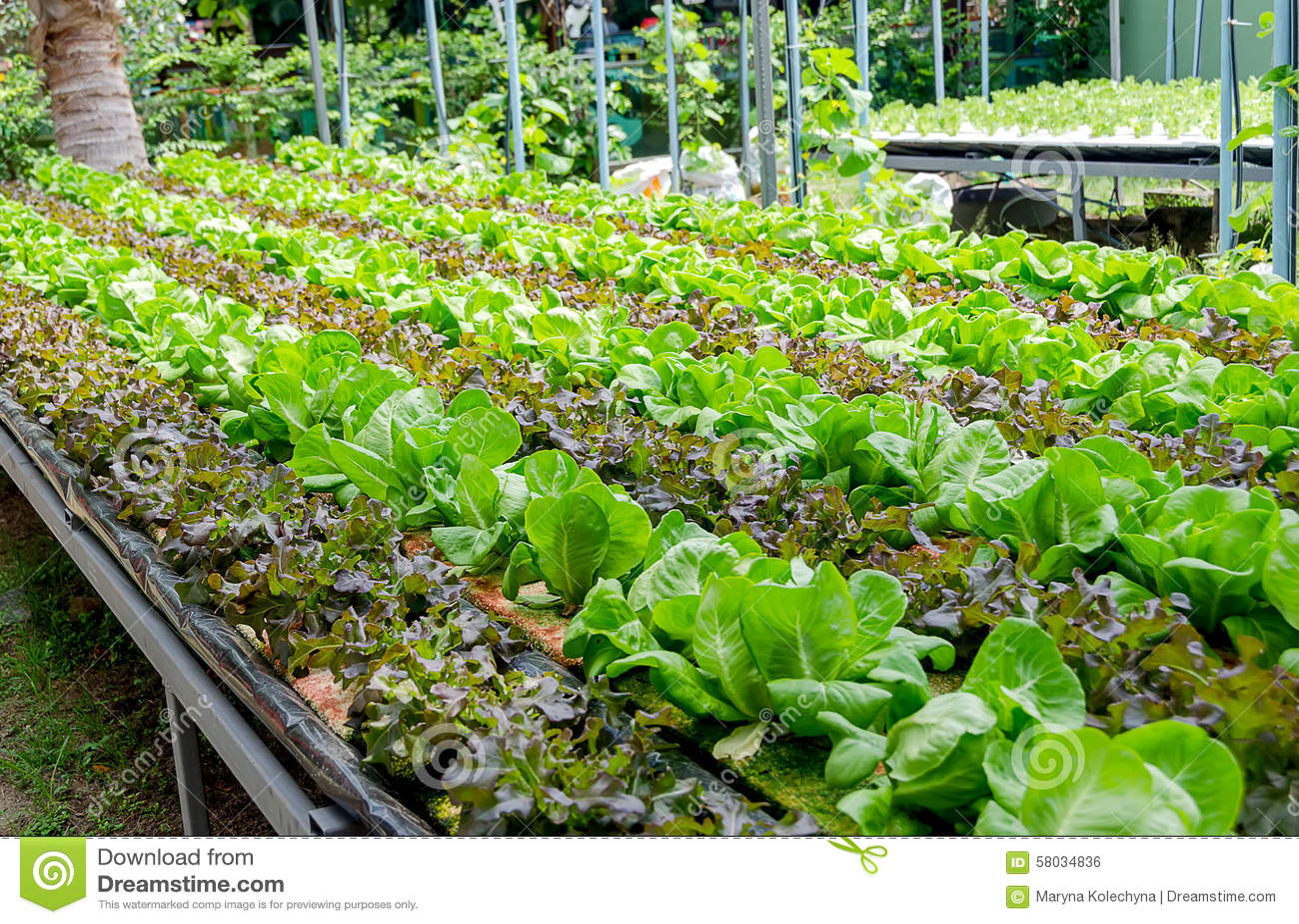 Generi differenti di coltivazione organica di lattuga