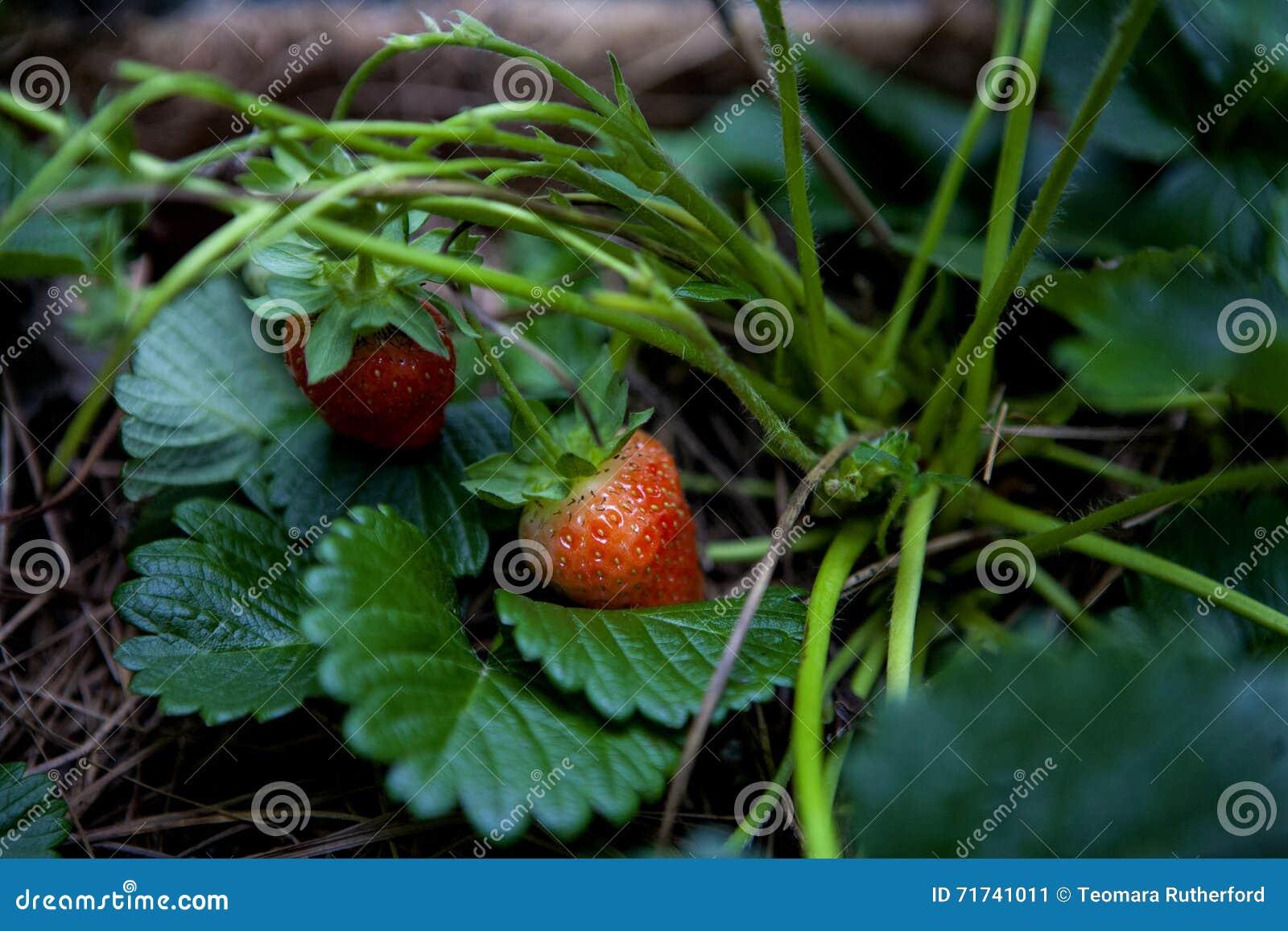 Genestelde aardbeien