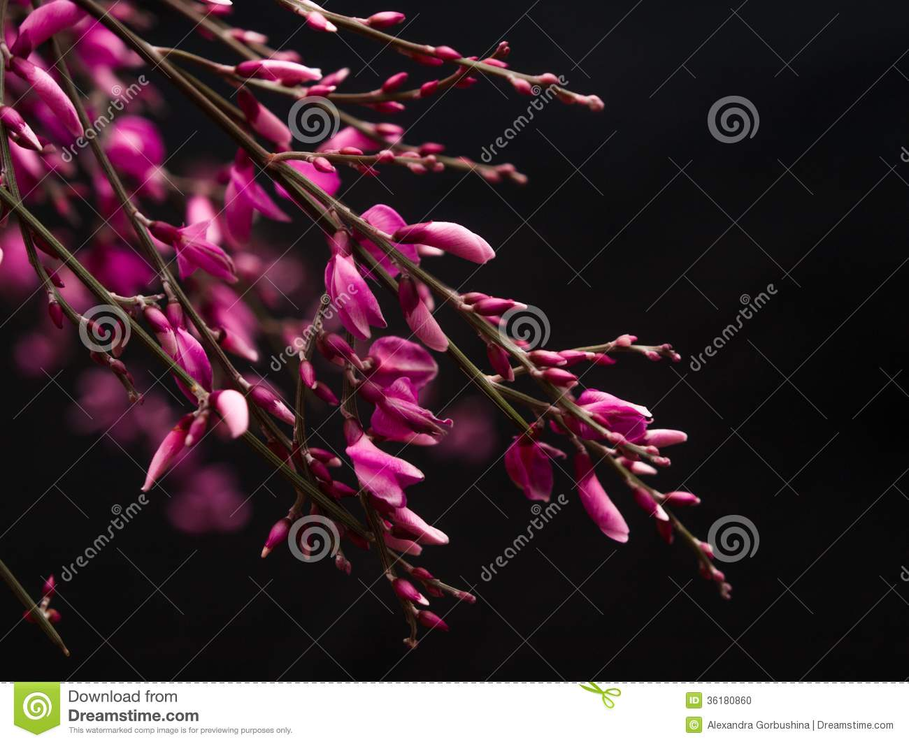 Genista Pink Flowers On Black Background Stock Photo