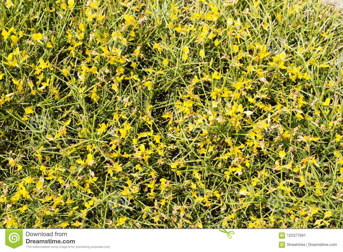 Genista spiky shrub with yellow flowers stock image image of wild download comp mightylinksfo
