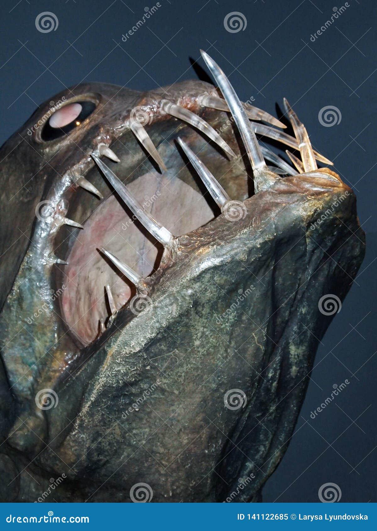 Genoa, Itália, em março de 2011 A cabeça de um peixe enorme terrível com os dentes grandes no aquário dos di Genebra de Acquario