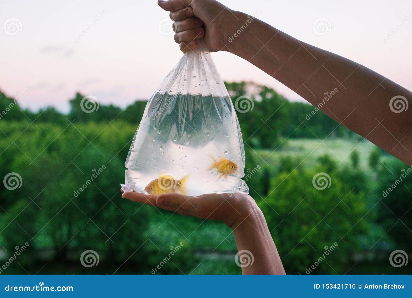 Genomskinlig packe med den inhandlade akvariefisken Händer som rymmer en påse av den guld- fisken Guldfisk två i plast- förpacka