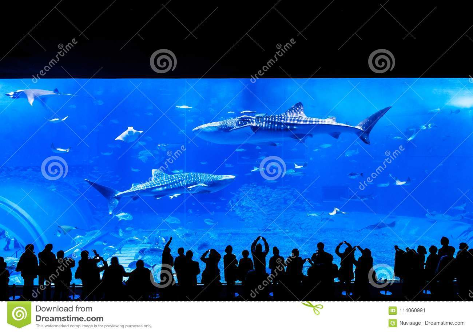 Gente que mira el tiburón de ballena entre otros pescados en el Churau