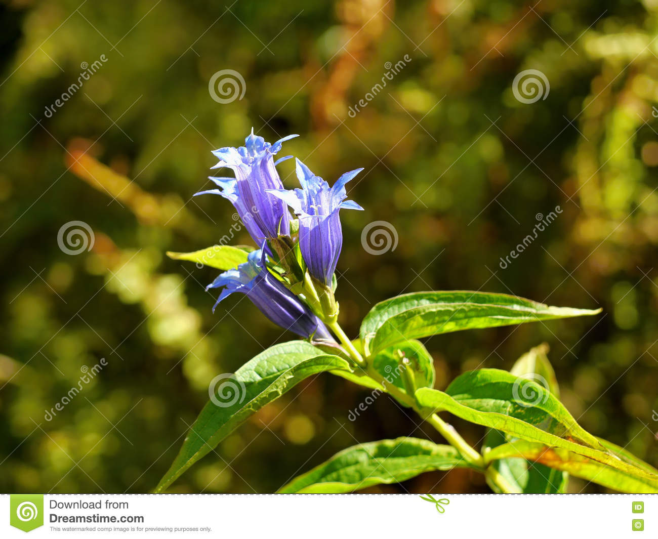 Gentian violet flower stock image image of petals meadow 77690687 royalty free stock photo izmirmasajfo Image collections