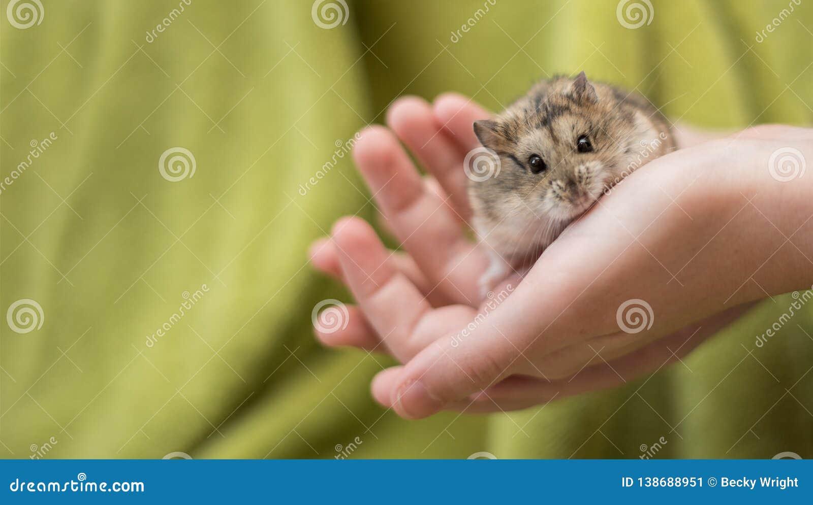 Gentillesse de hamster dans mains de childs