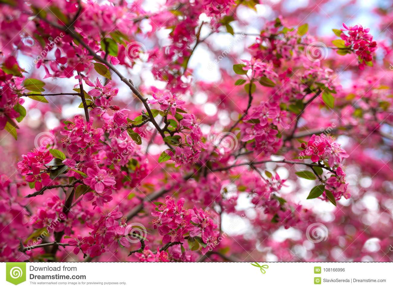 Gentle Lovely Pink Fragrant Spring Flowers Of A Paradise Apple Tree