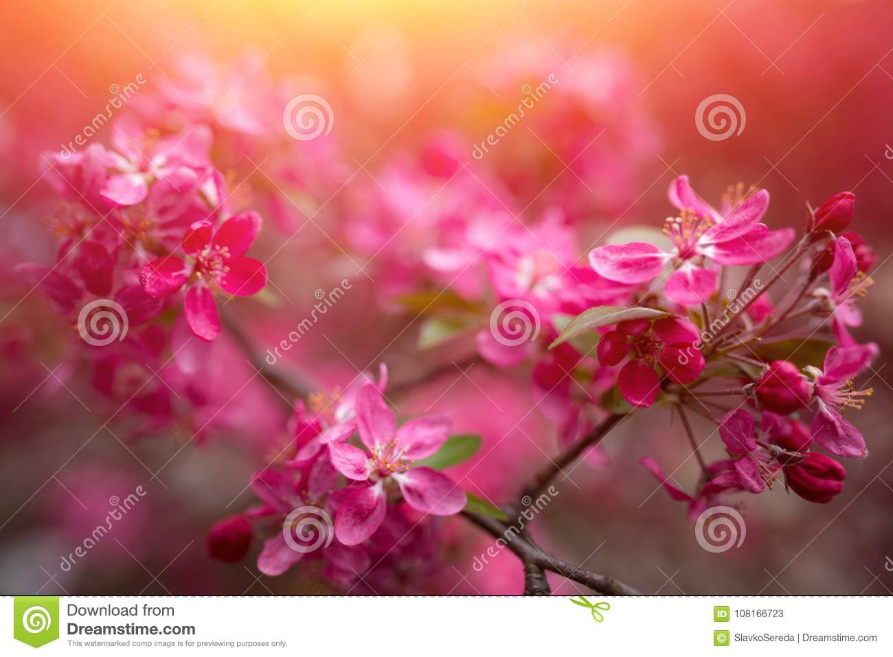 Gentle lovely pink fragrant spring flowers of a paradise apple tree download gentle lovely pink fragrant spring flowers of a paradise apple tree stock image mightylinksfo