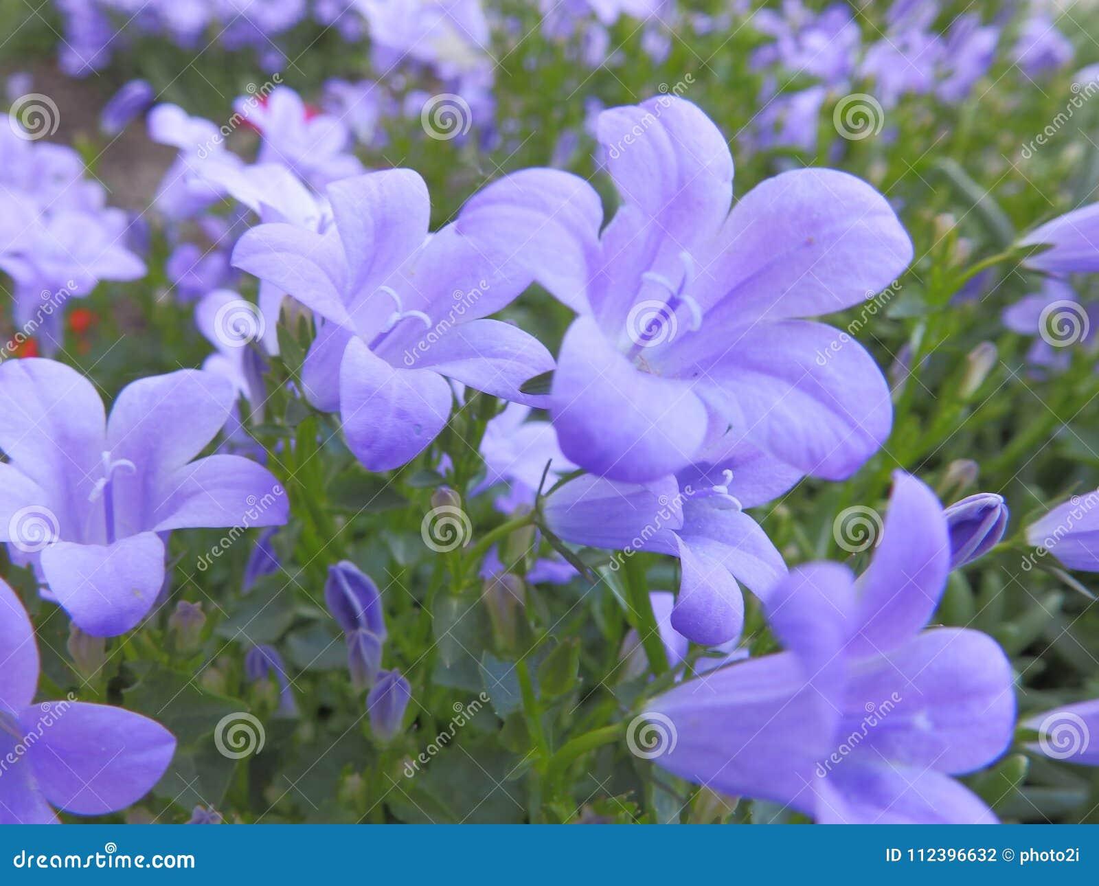 Gentle Purple Bellflowers Closeup Stock Photo Image Of Leavs