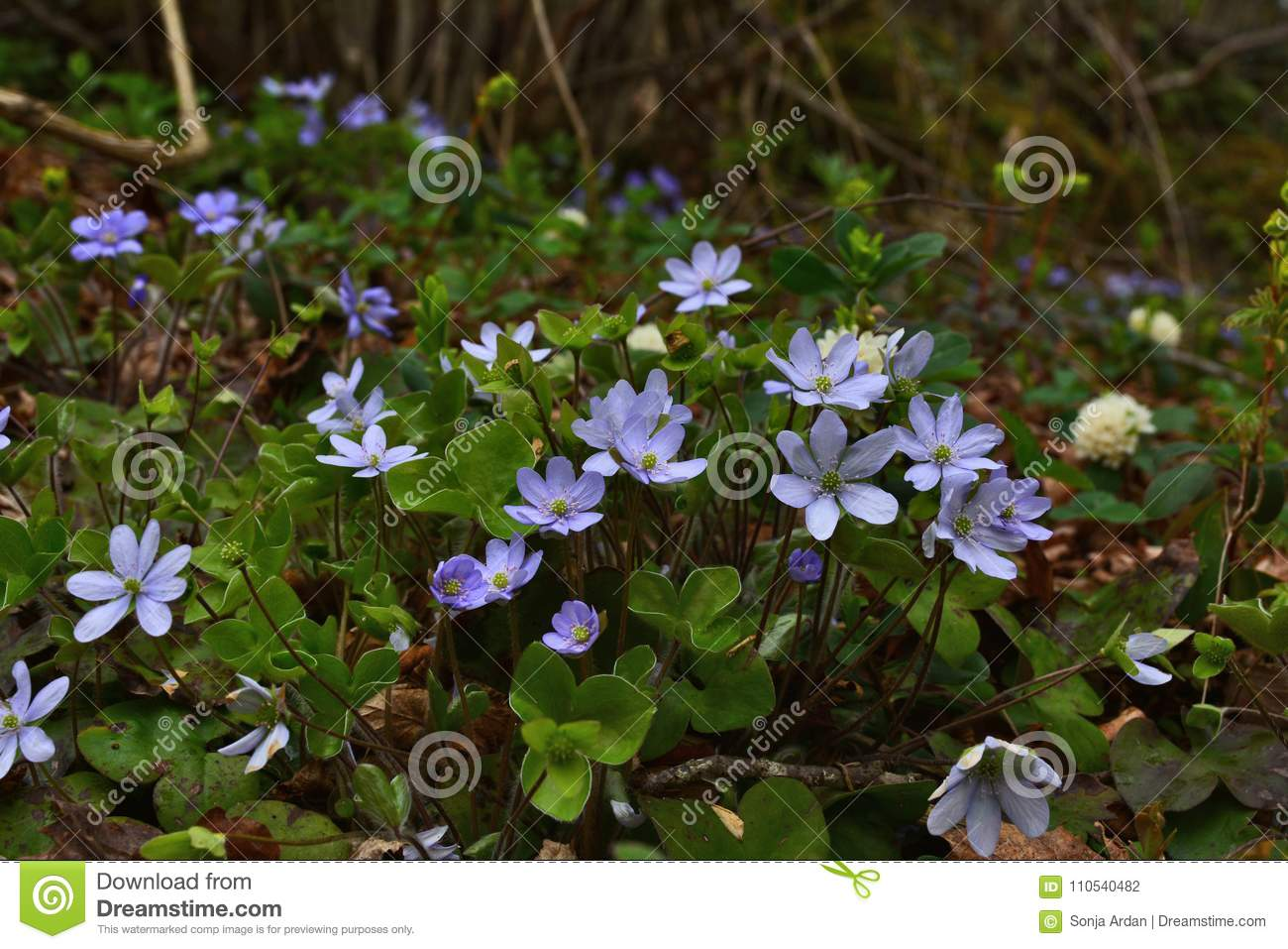 Gently Blue Flowers In The Shade Of Shrubs Stock Photo Image Of