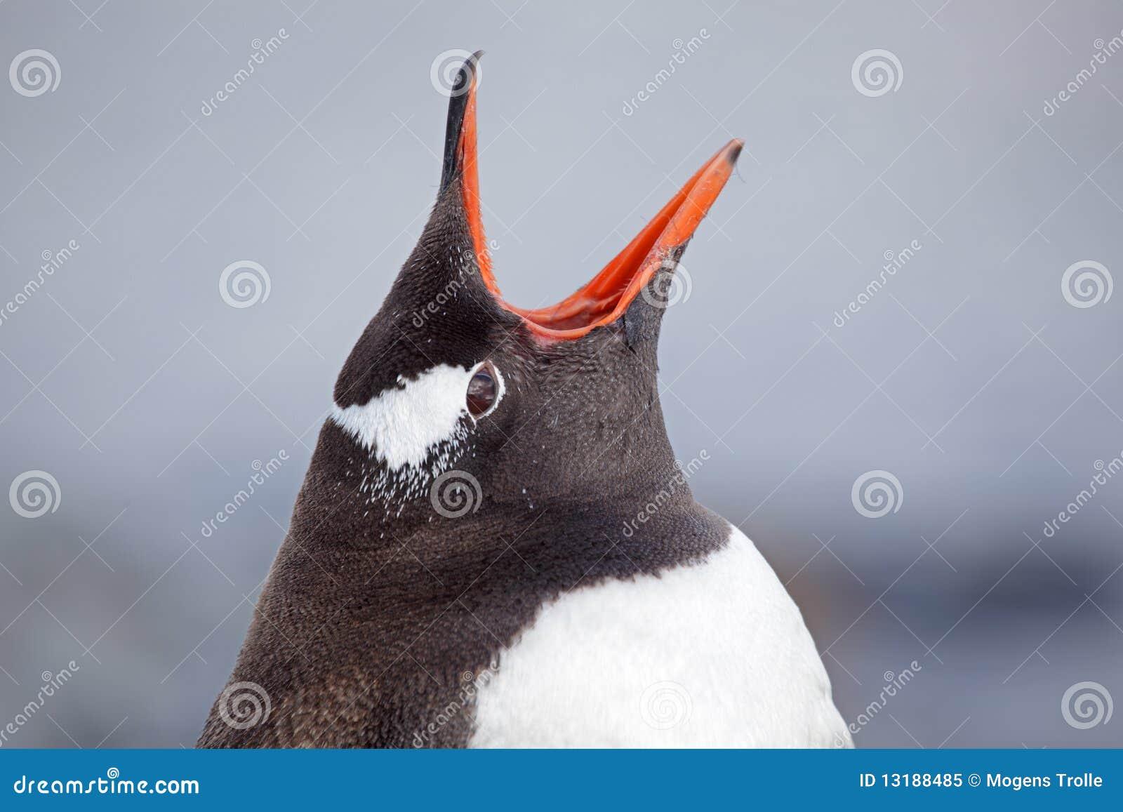 Gentoo της Ανταρκτικής penguin που