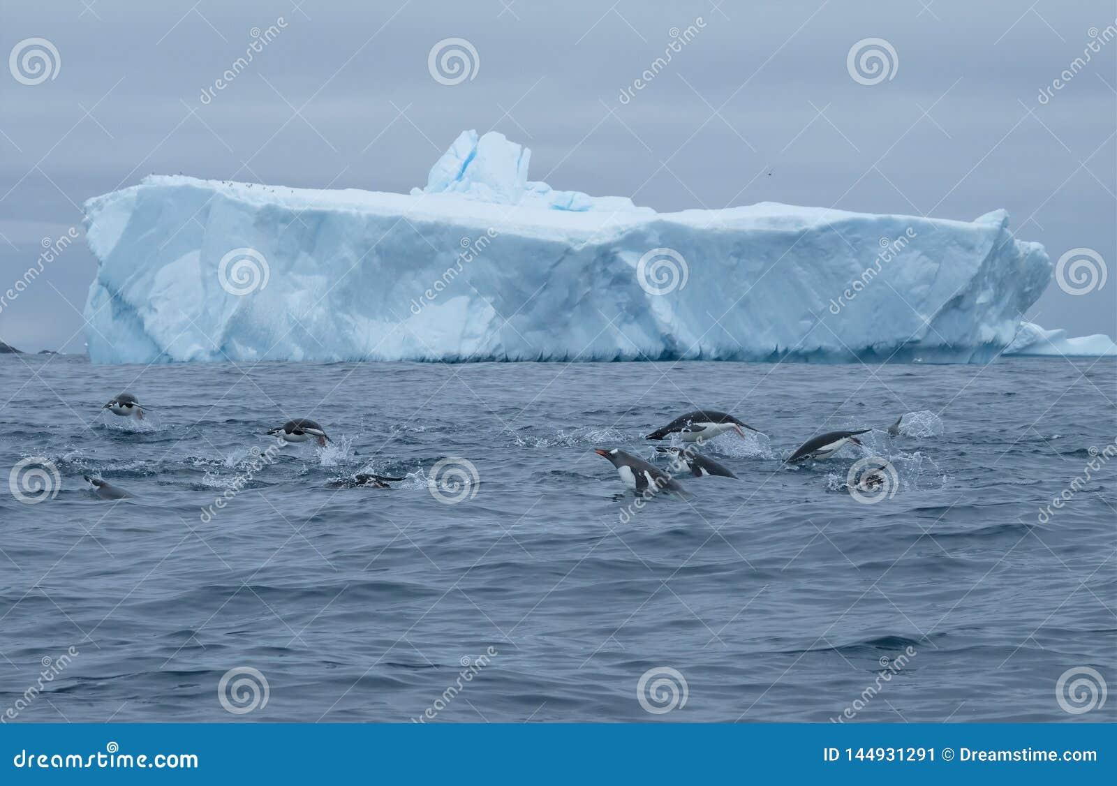 Gentoo Антарктики, chinstrap, пингвины adelie porpoising и звероловство группы