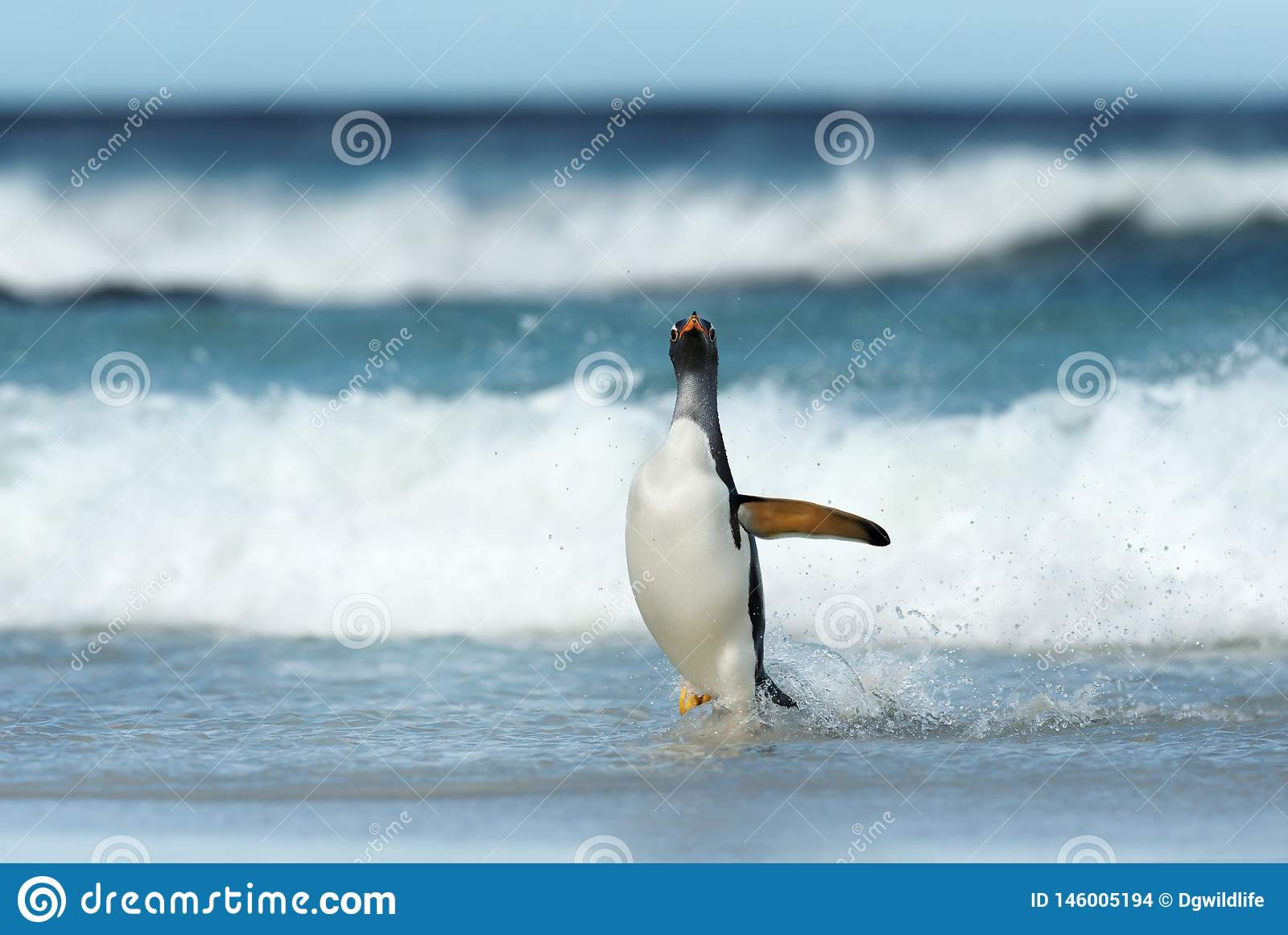 Gentoo penguin coming ashore from stormy Atlantic ocean