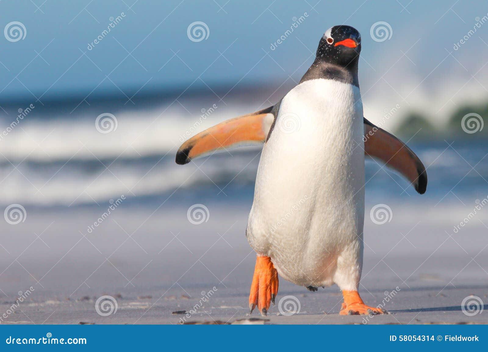 Gentoo Penguin (Pygoscelis papua) walking on the Beach.