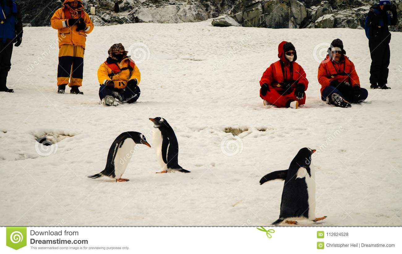 Gentoo penguins meeting people in Antarctica on Cuverville Island.