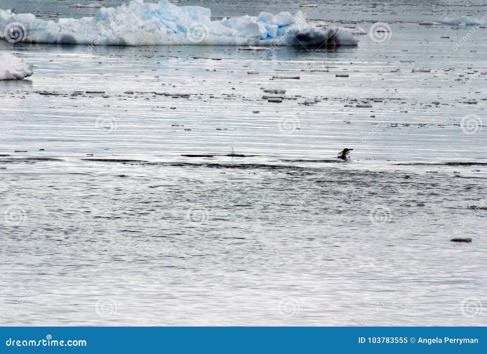 Gentoo pingwinu doskakiwanie, otaczający górami lodowa