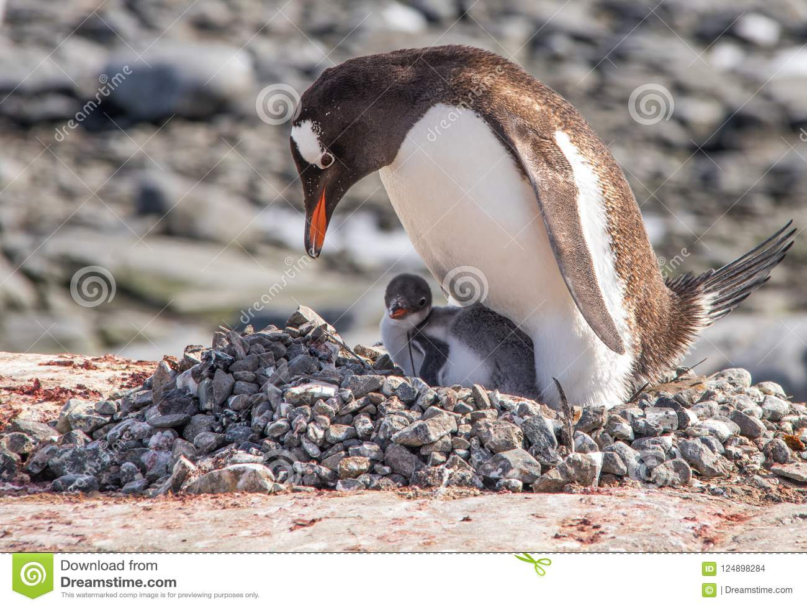 Gentoopinguïnen in Antarctica