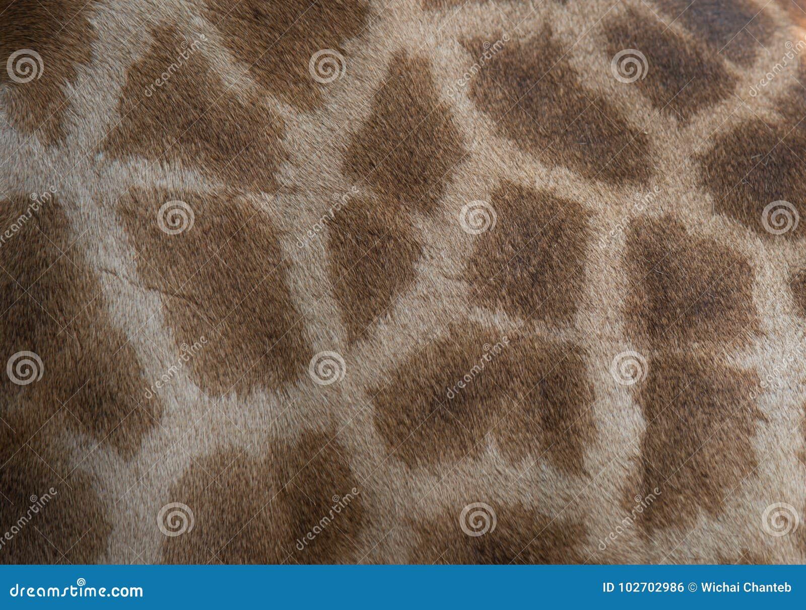 genuine leather skin of giraffe textured skin of giraffe stock