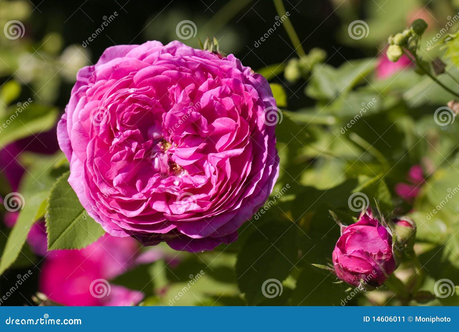Genus постоянная лоза цветка shrub rosa розовая