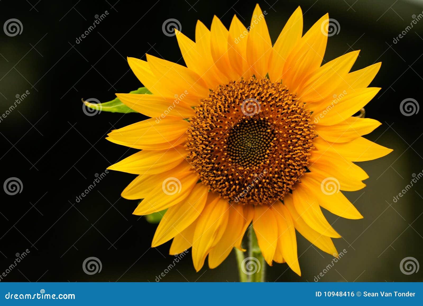 Genus солнцецвет disambiguation helianthus