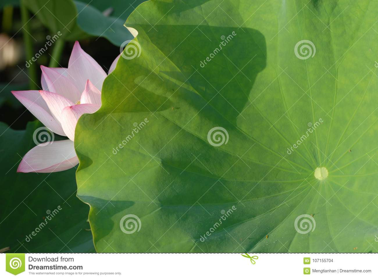 Jiangxi guangchang white lotus lotus flower stock photo image of genus proteales nelumbonaceae known as two species of the genus also known as lotus water hibiscus and so on is a perennial aquatic herb flowers izmirmasajfo