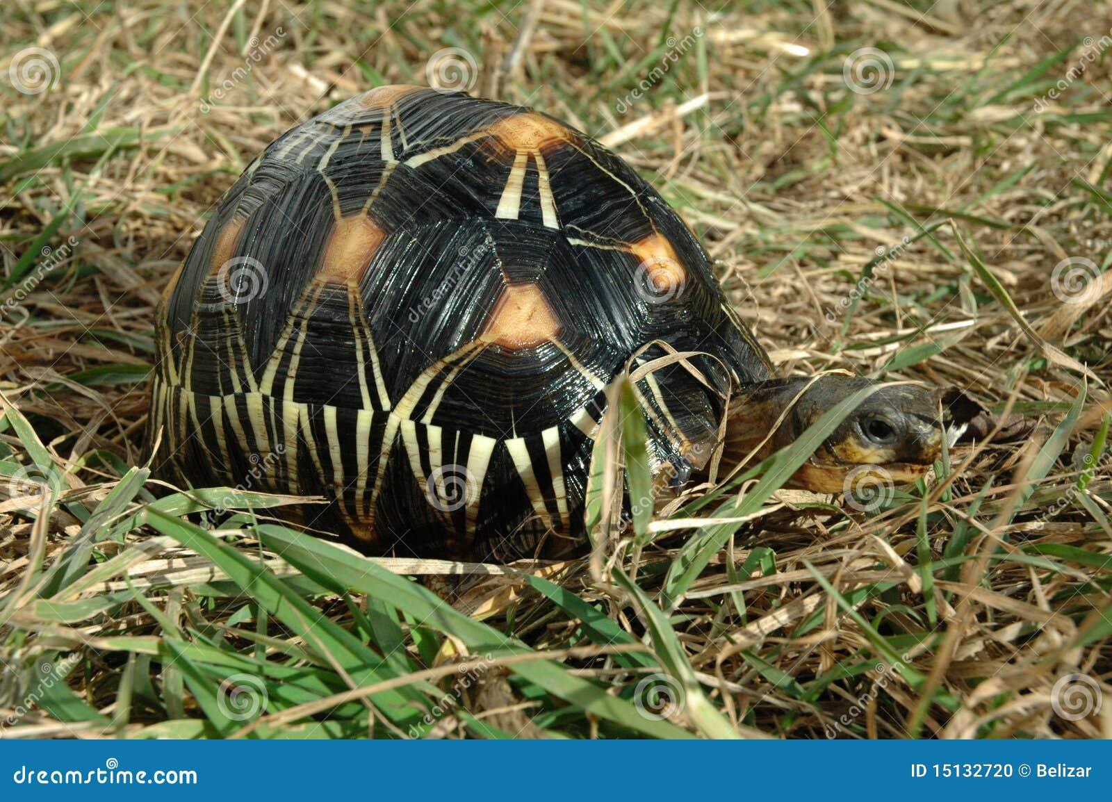 Geocheloneradiata strålningssköldpadda