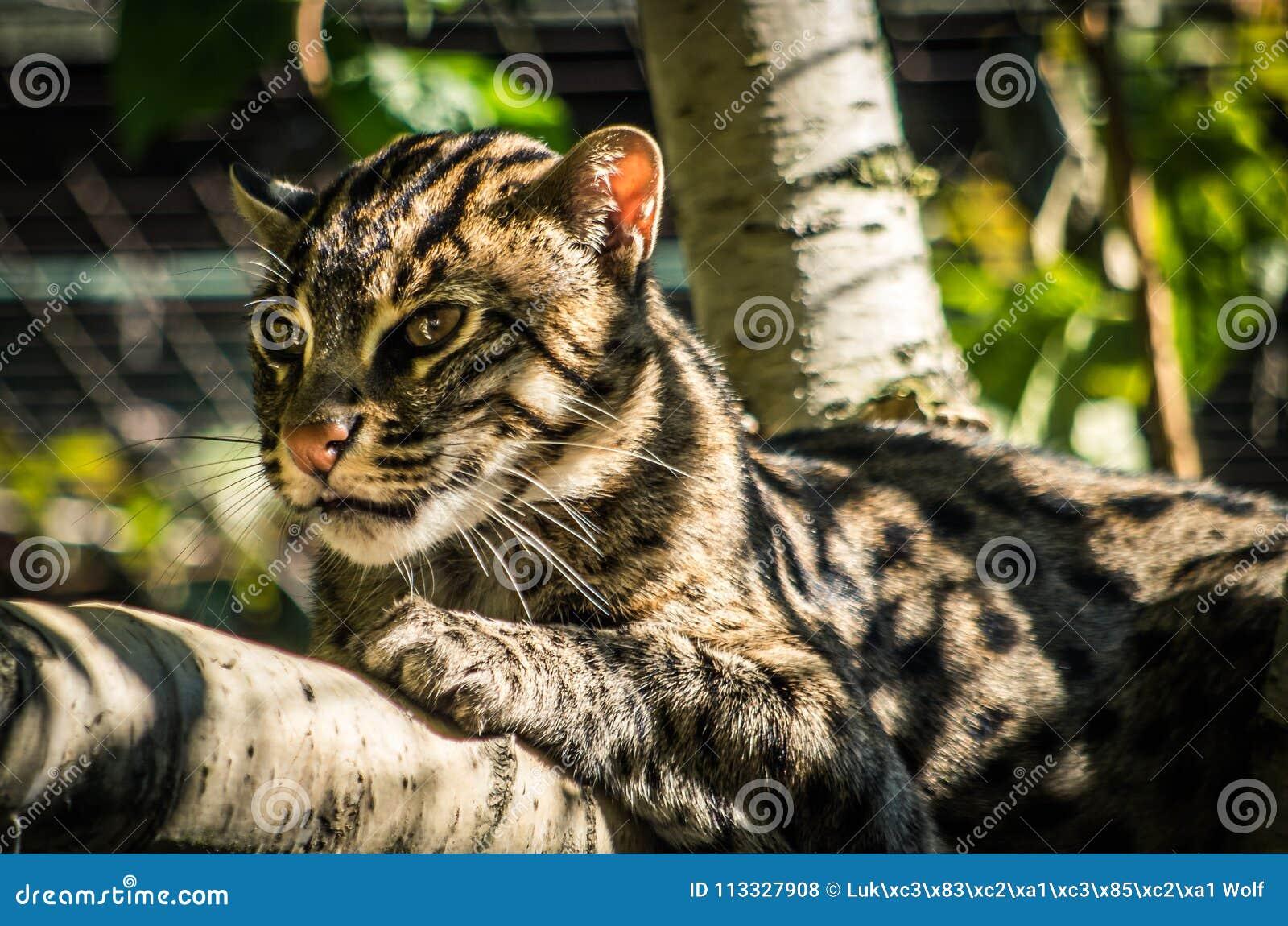 Geoffroy-` s Katze Oncifelis-geoffroyi