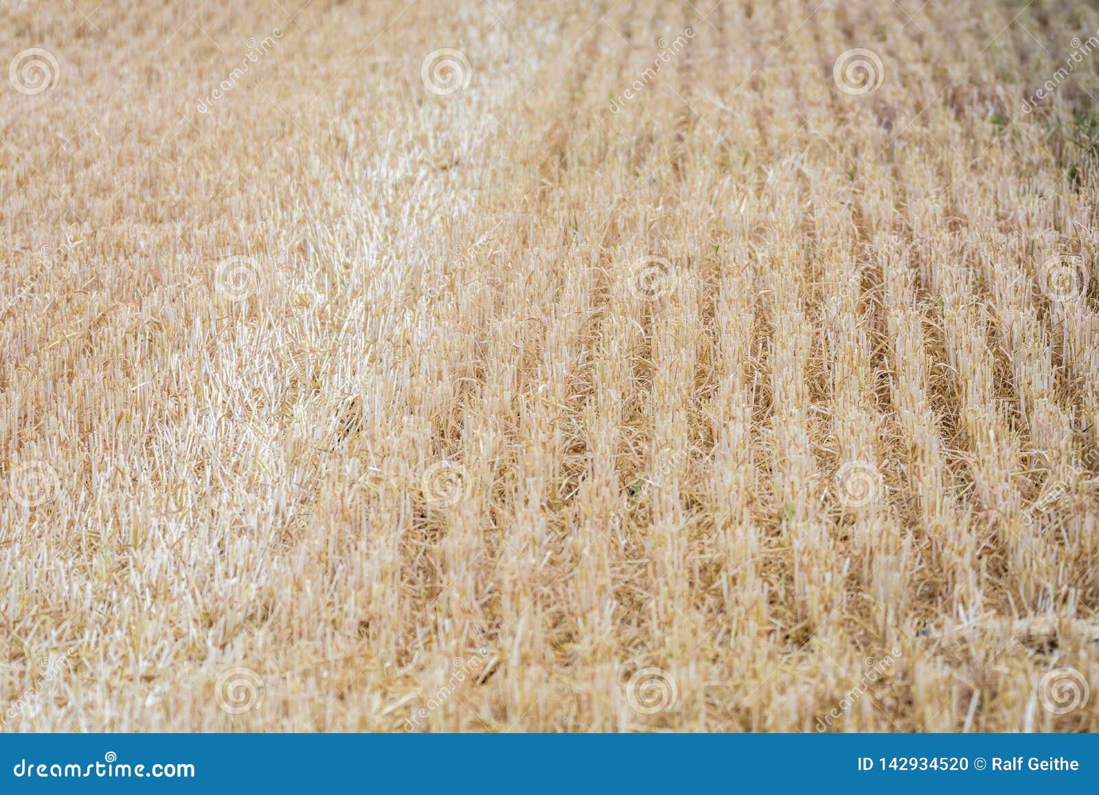 Geoogste cornfield als achtergrond of textuur