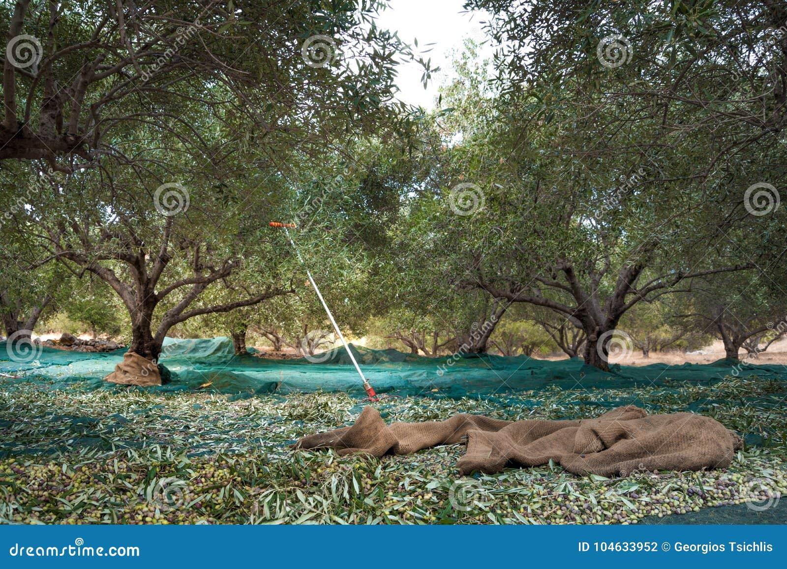 Download Geoogste Verse Olijven Op Een Gebied In Kreta, Griekenland Stock Foto - Afbeelding bestaande uit gewas, naughty: 104633952