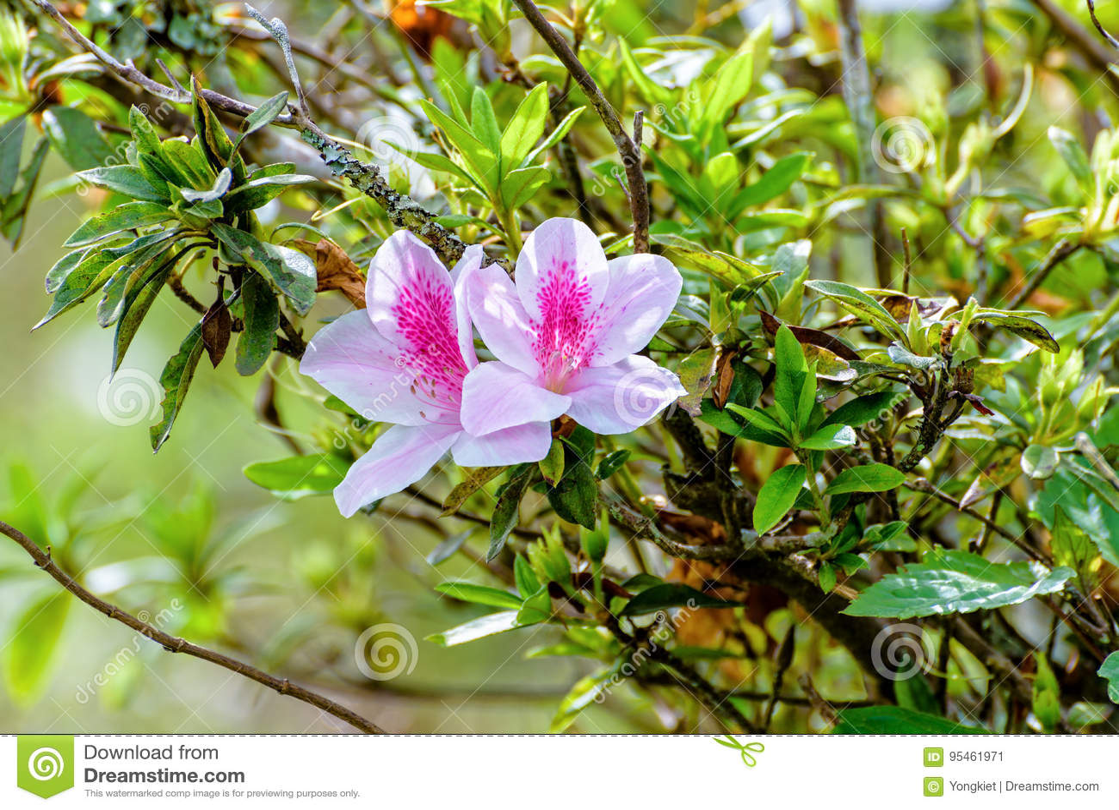 George Taber Azalea Stock Image Image Of Blooming Green 95461971