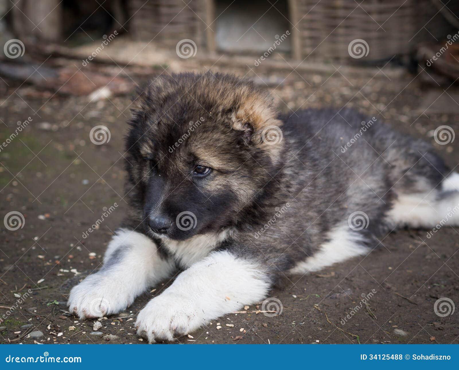 Georgia Shepherd. stock photo. Image of mountain, animal ... Georgian Shepherd Puppies