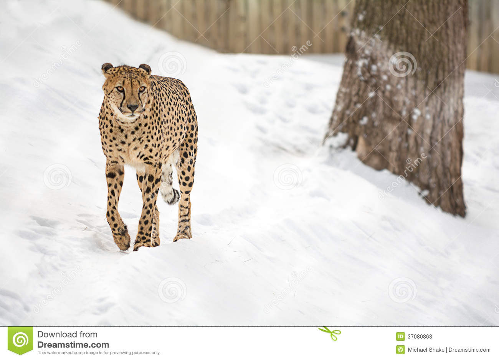 Download Gepard zdjęcie stock. Obraz złożonej z koci, zima, ssak - 37080868