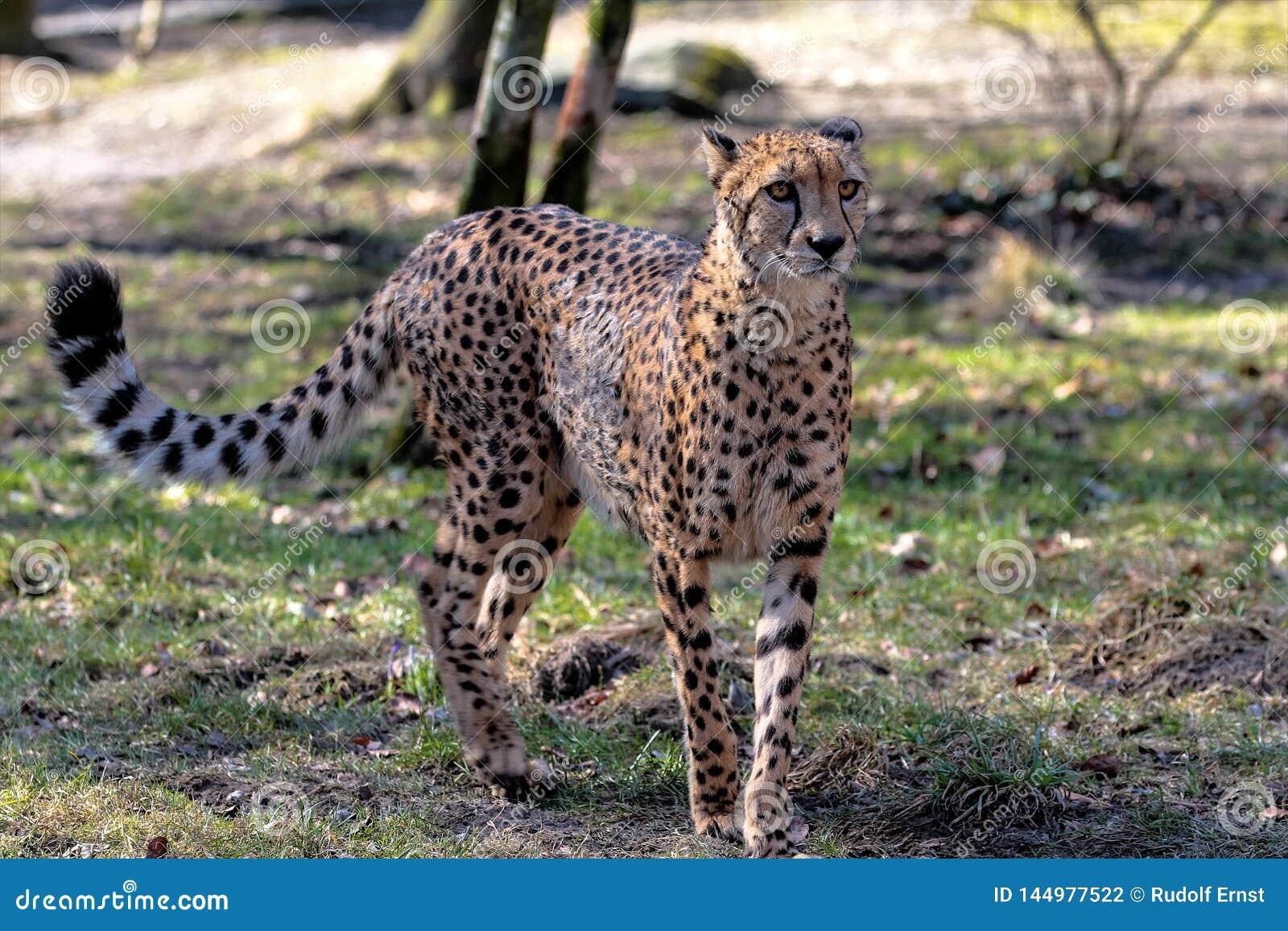 Gepard, Acinonyx jubatus, pi?kny ssaka zwierz? w zoo