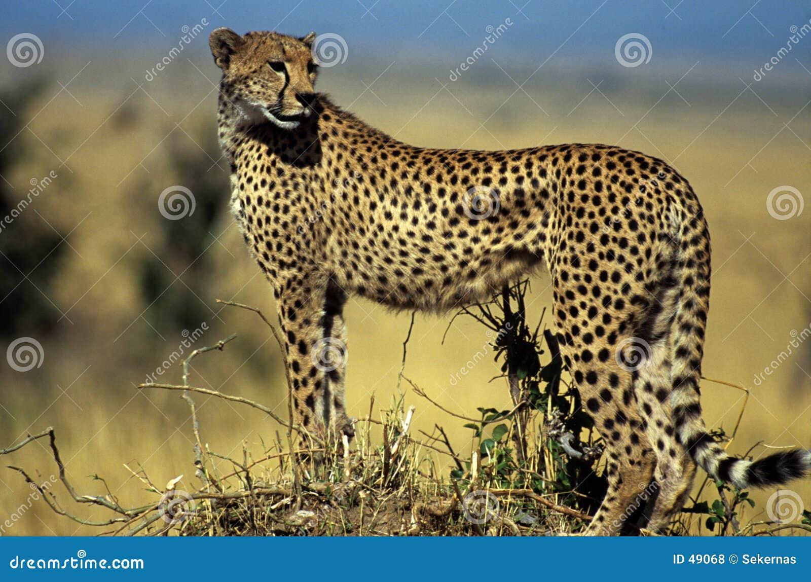Gepard auf Hügel