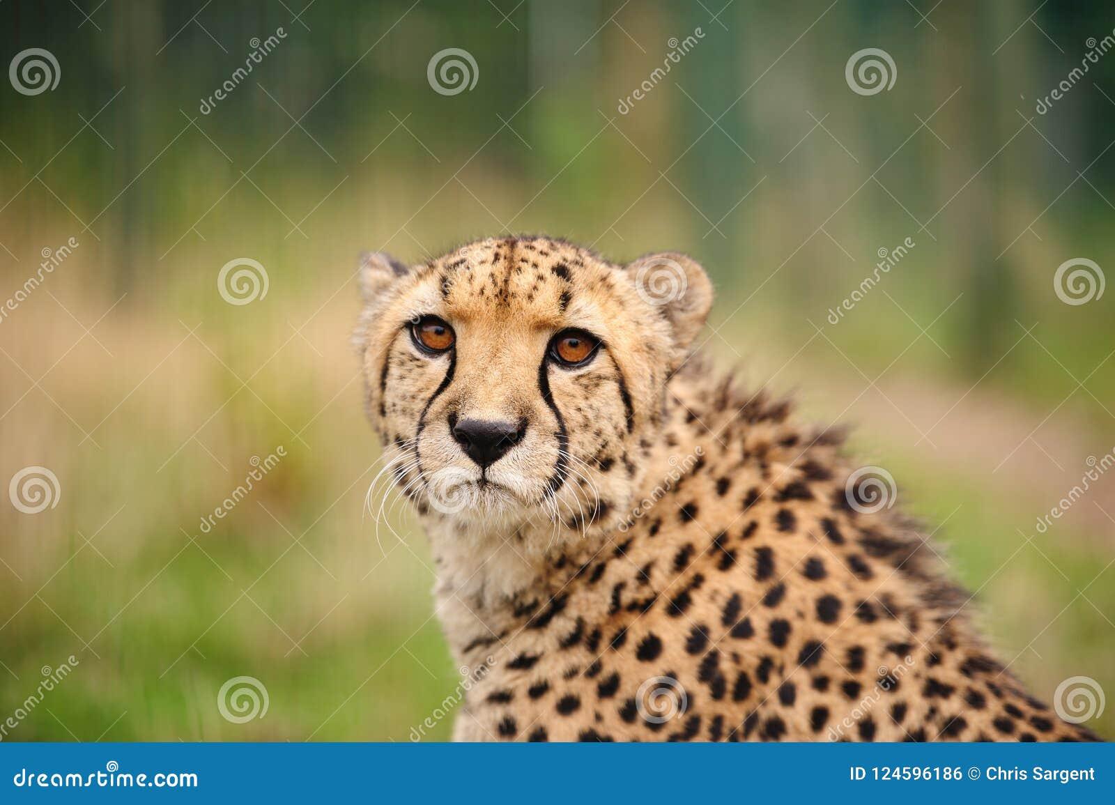 Gepard, der im hohen Gras sitzt