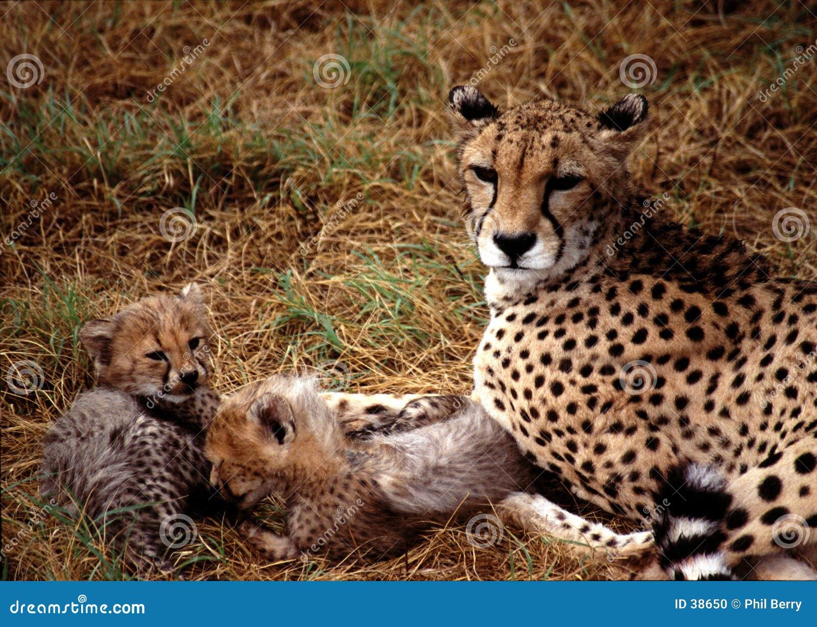 Gepard dziecka