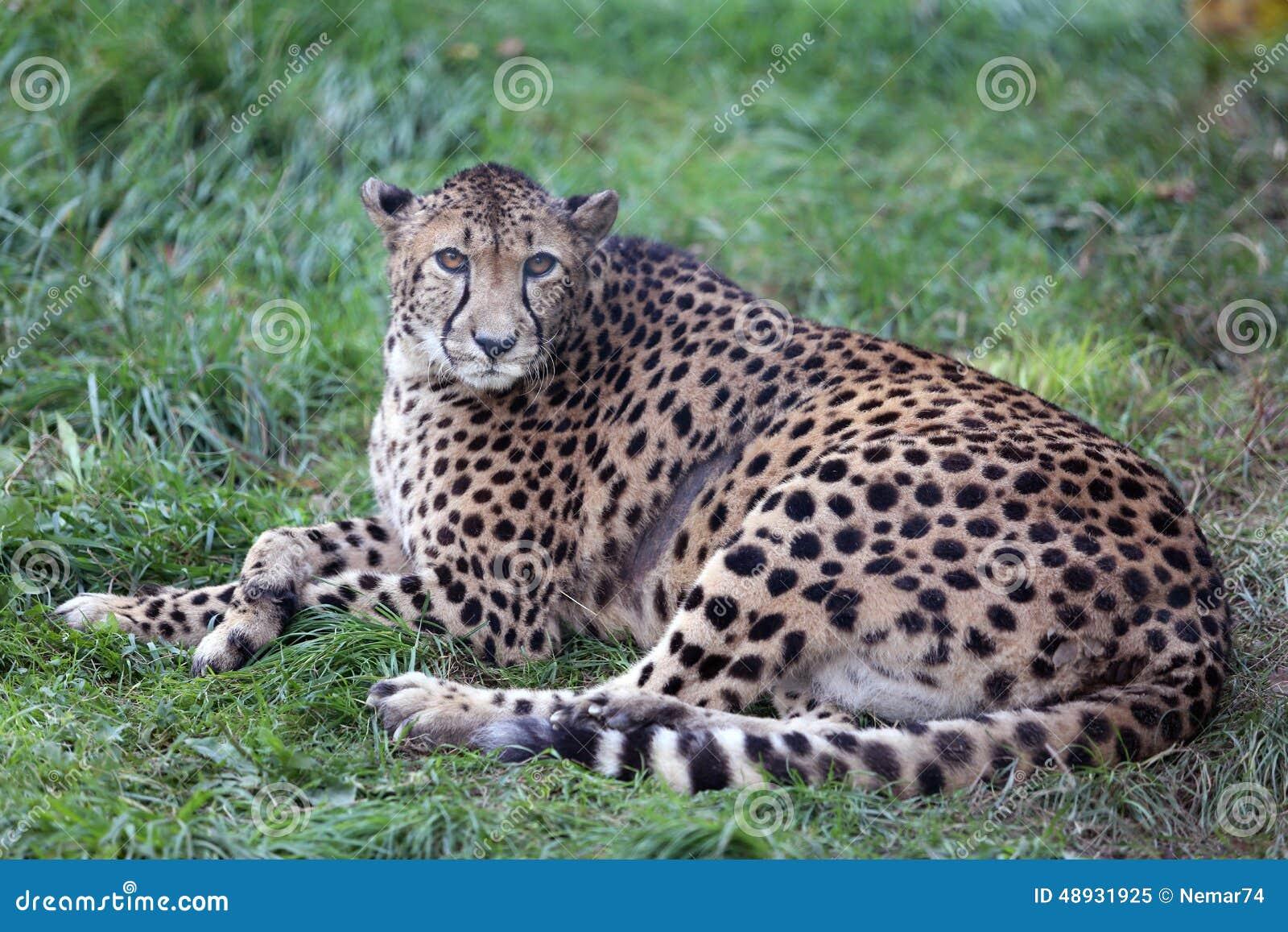 Gepard Gepard Na Zielonej Trawie Obraz Stock Obraz Złożonej Z