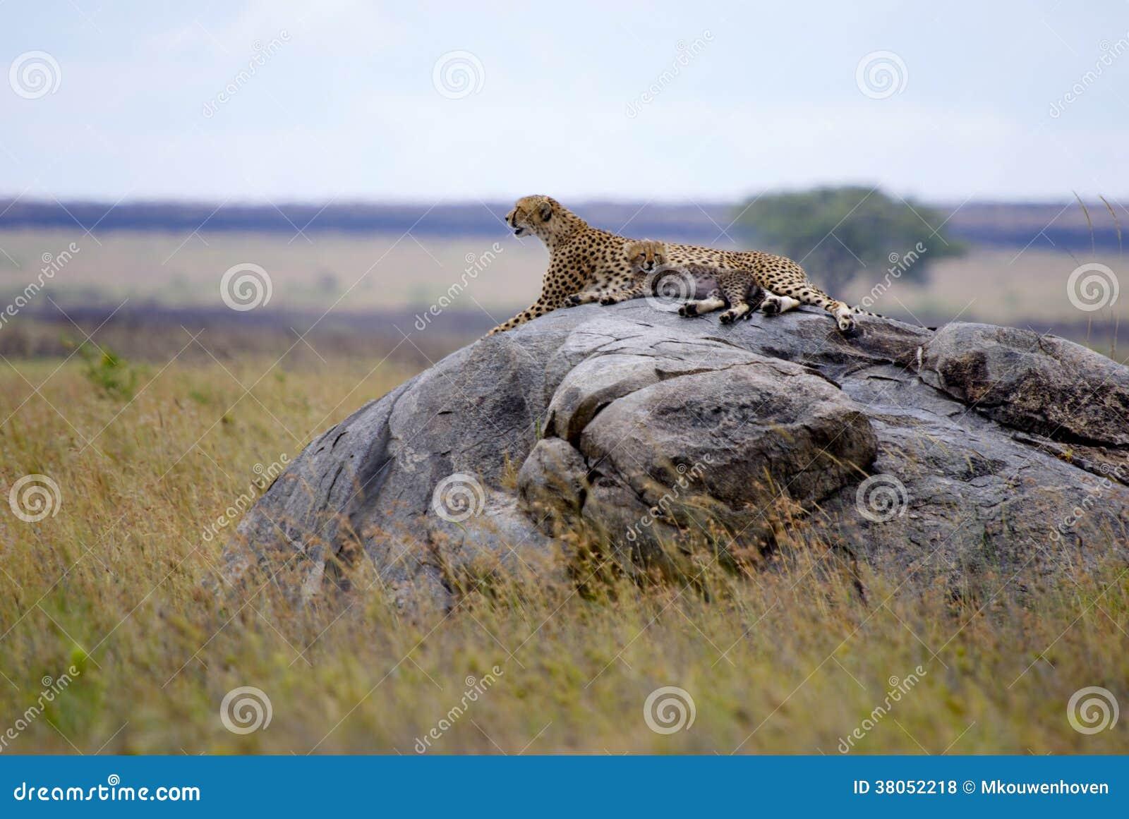 Gepard med gröngölingen i Serengeti