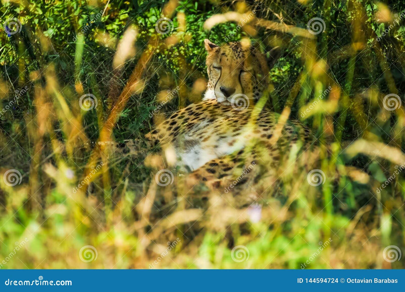 Gepard som sover under ett träd i skugga