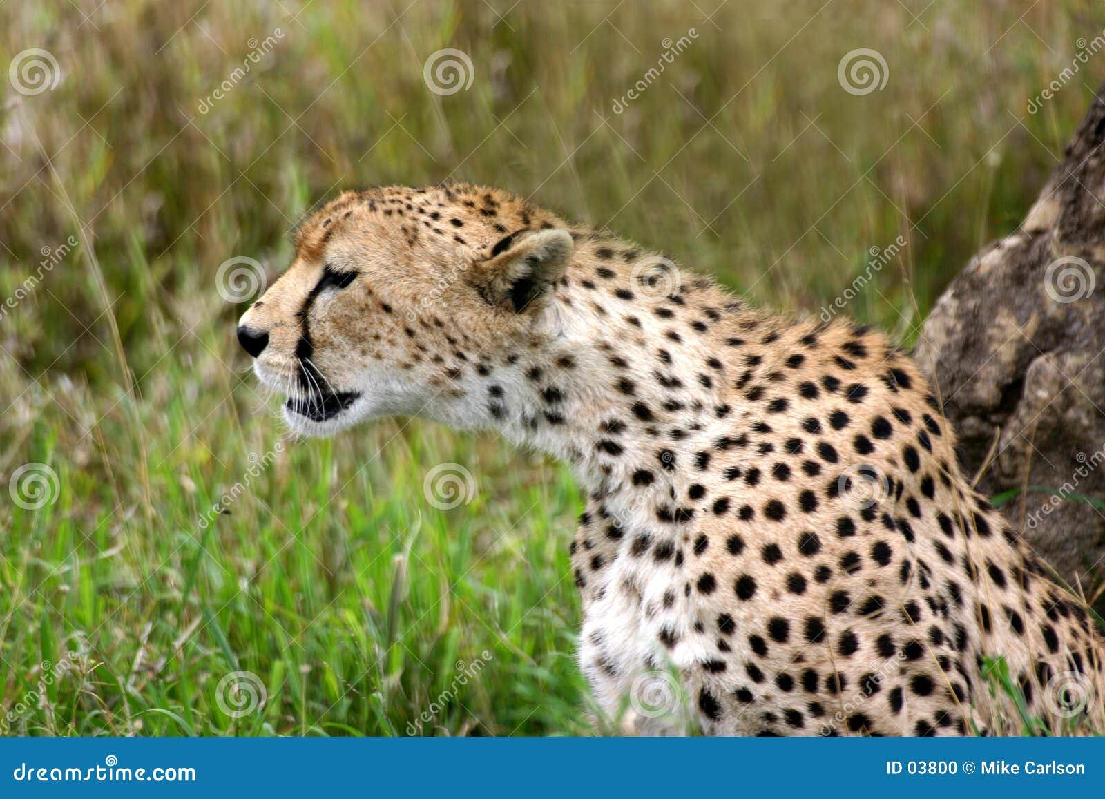 Gepard trzyma zegarek