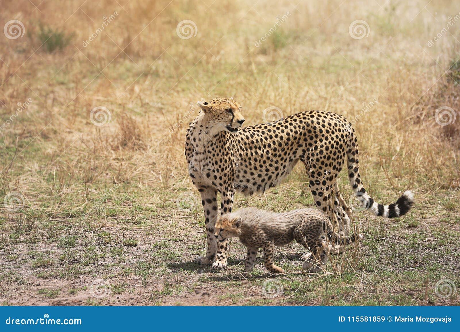 Gepard und ihr kleines Junges auf Masai Mara, Kenia, Afrika
