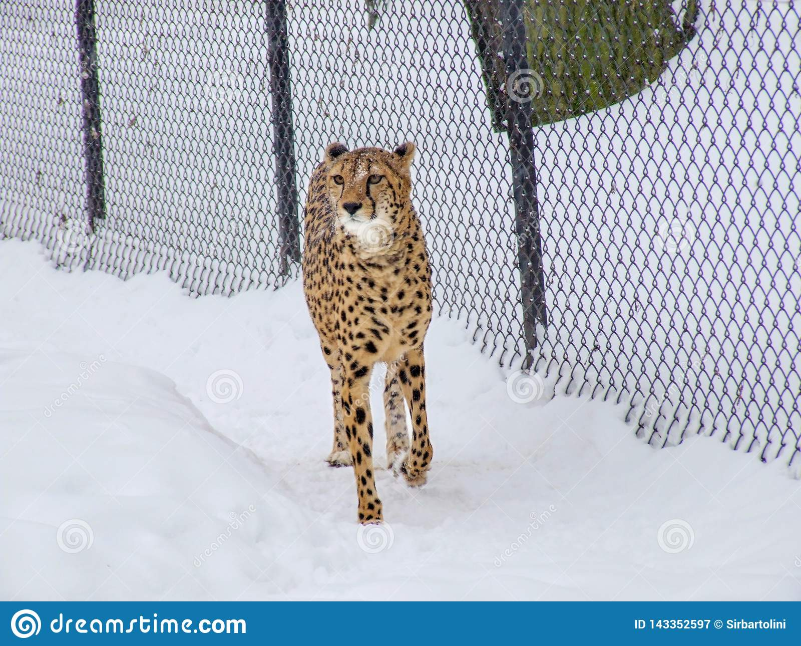 Gepard w śniegu w zoo