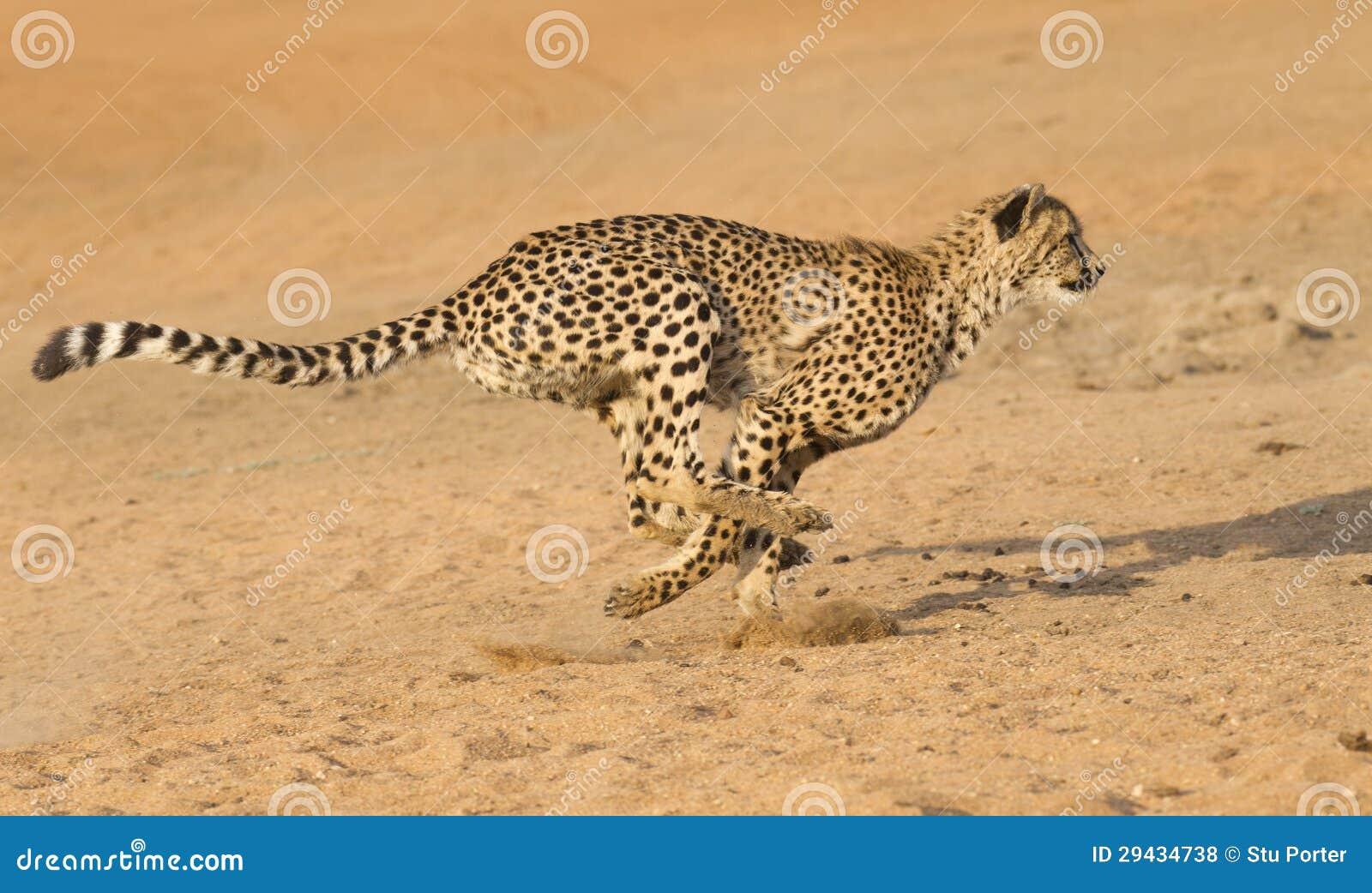 Geparda bieg, Południowa Afryka (Acinonyx jubatus)