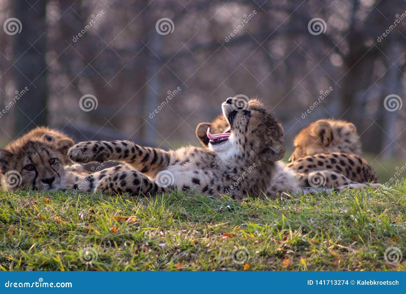 Geparda lisiątko z swój usta otwartym ziewaniem
