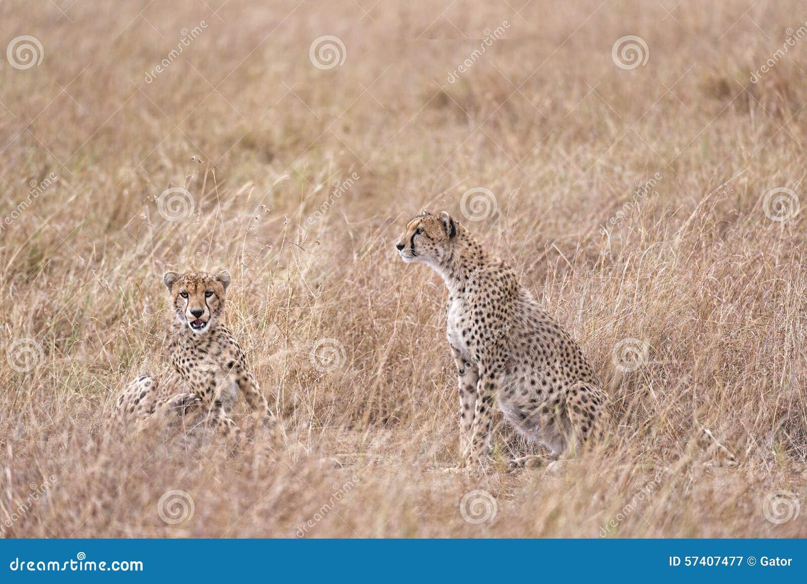 Geparde, die im hohen Gras stillstehen